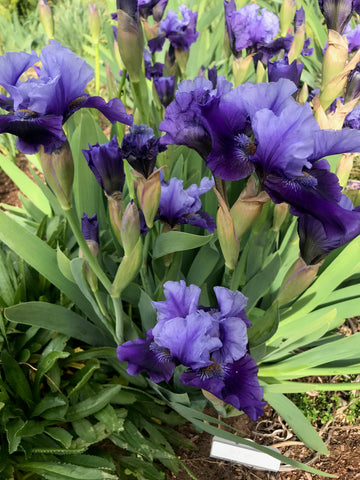 Bluesman - Tall bearded iris