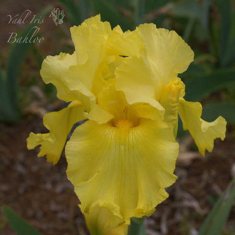 Bahloo - Tall bearded iris