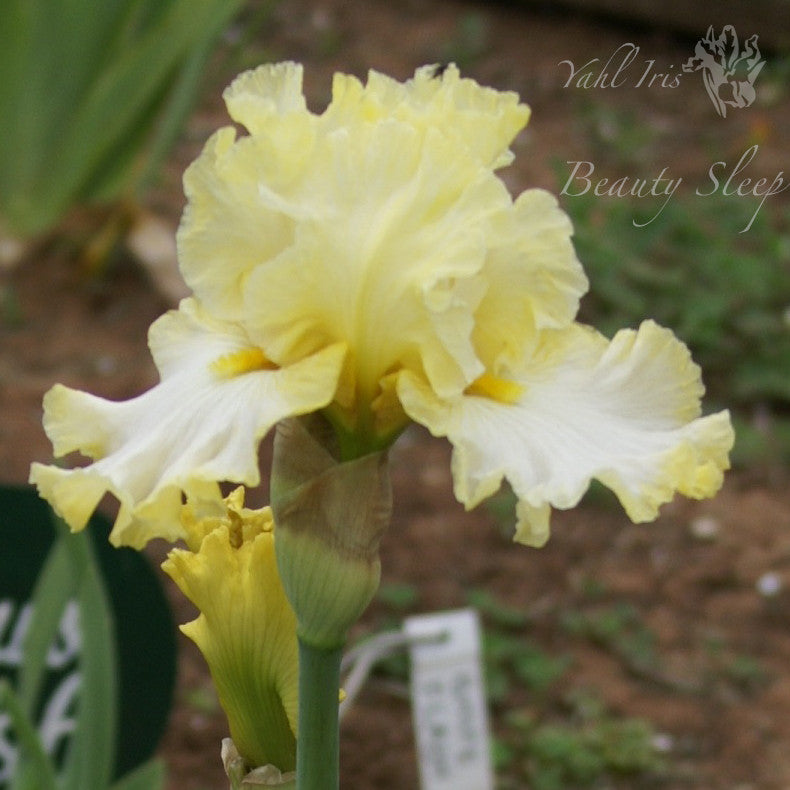 Beauty Sleep - Tall Bearded Iris