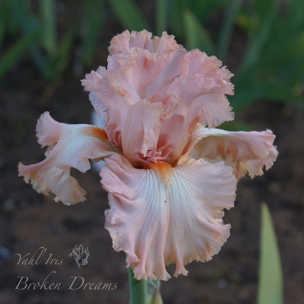 Broken Dreams - Tall bearded iris