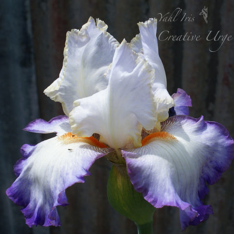 Creative Urge - Tall bearded iris