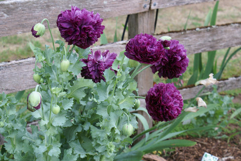 SEEDS - Purple Peony Poppy - Papaver peoniflorum - 1 Packet of seeds