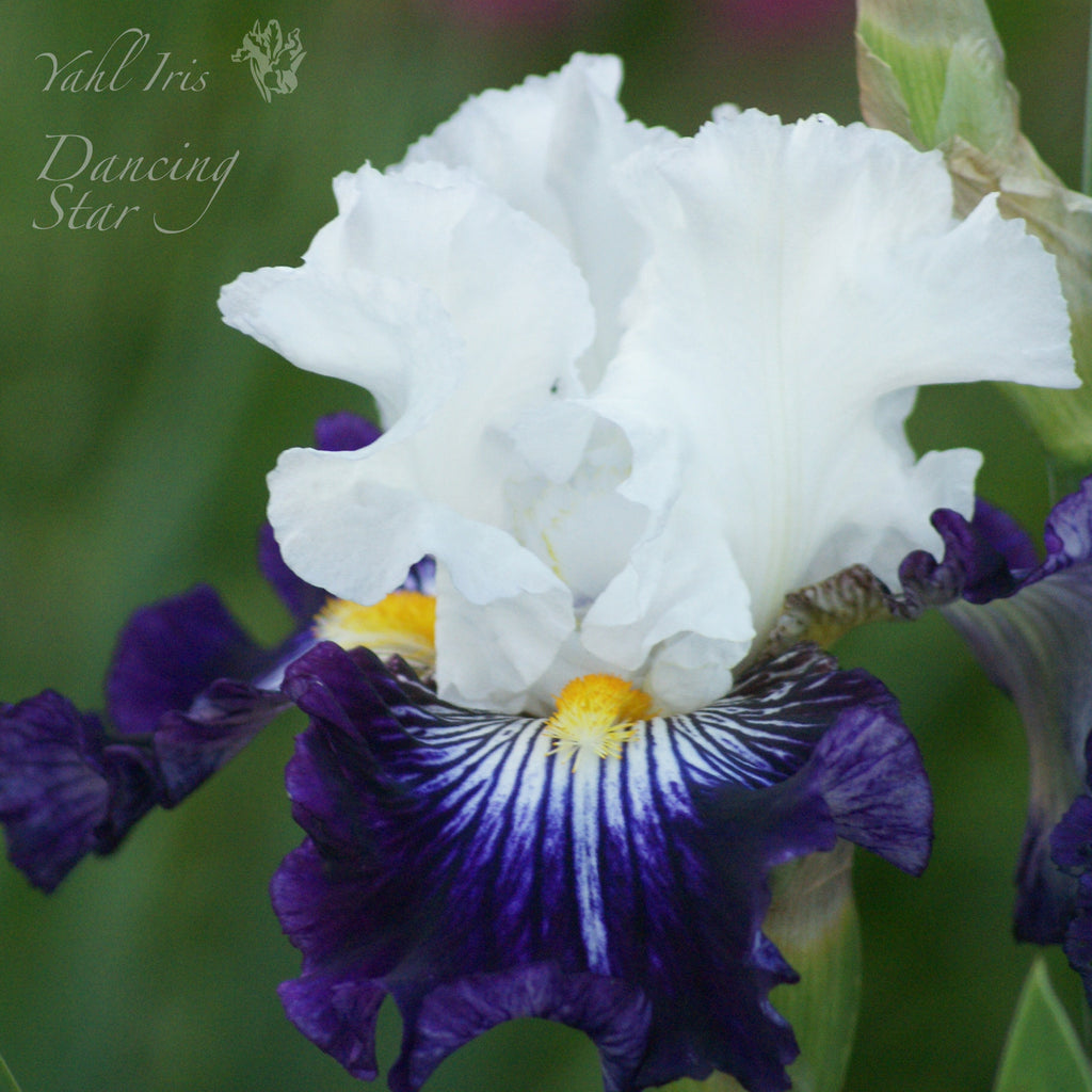 Dancing Star - Tall bearded iris