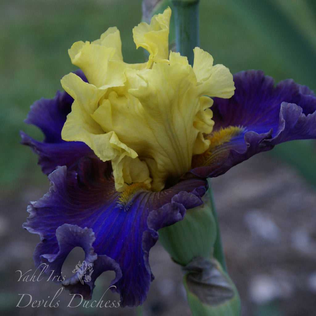 Devils Duchess - Tall bearded iris