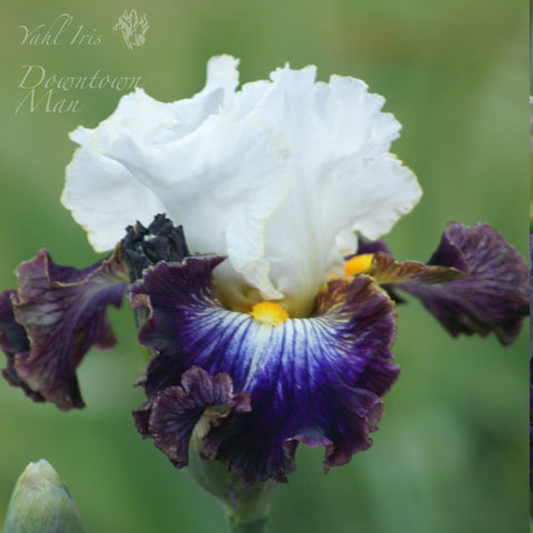 Downtown Man - Tall bearded iris