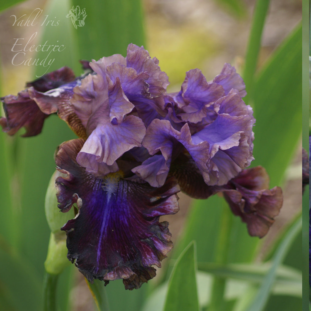 Electric Candy - Tall bearded iris