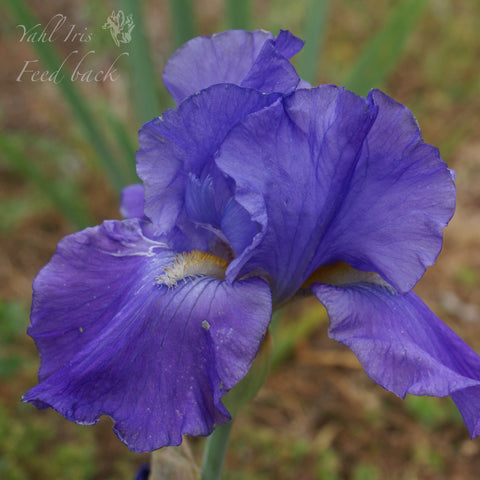 Feed Back - Tall Bearded Iris
