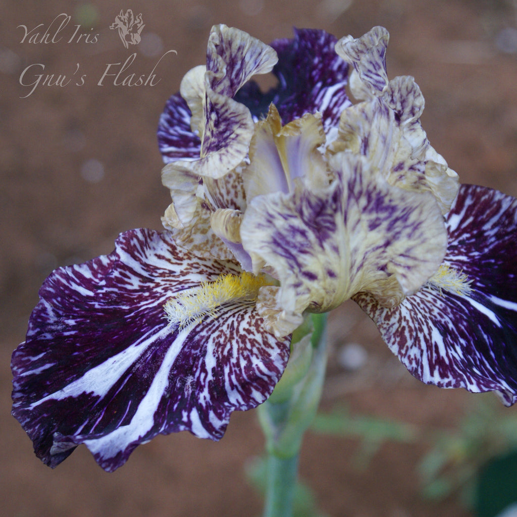 Gnus Flash - Tall Bearded Iris