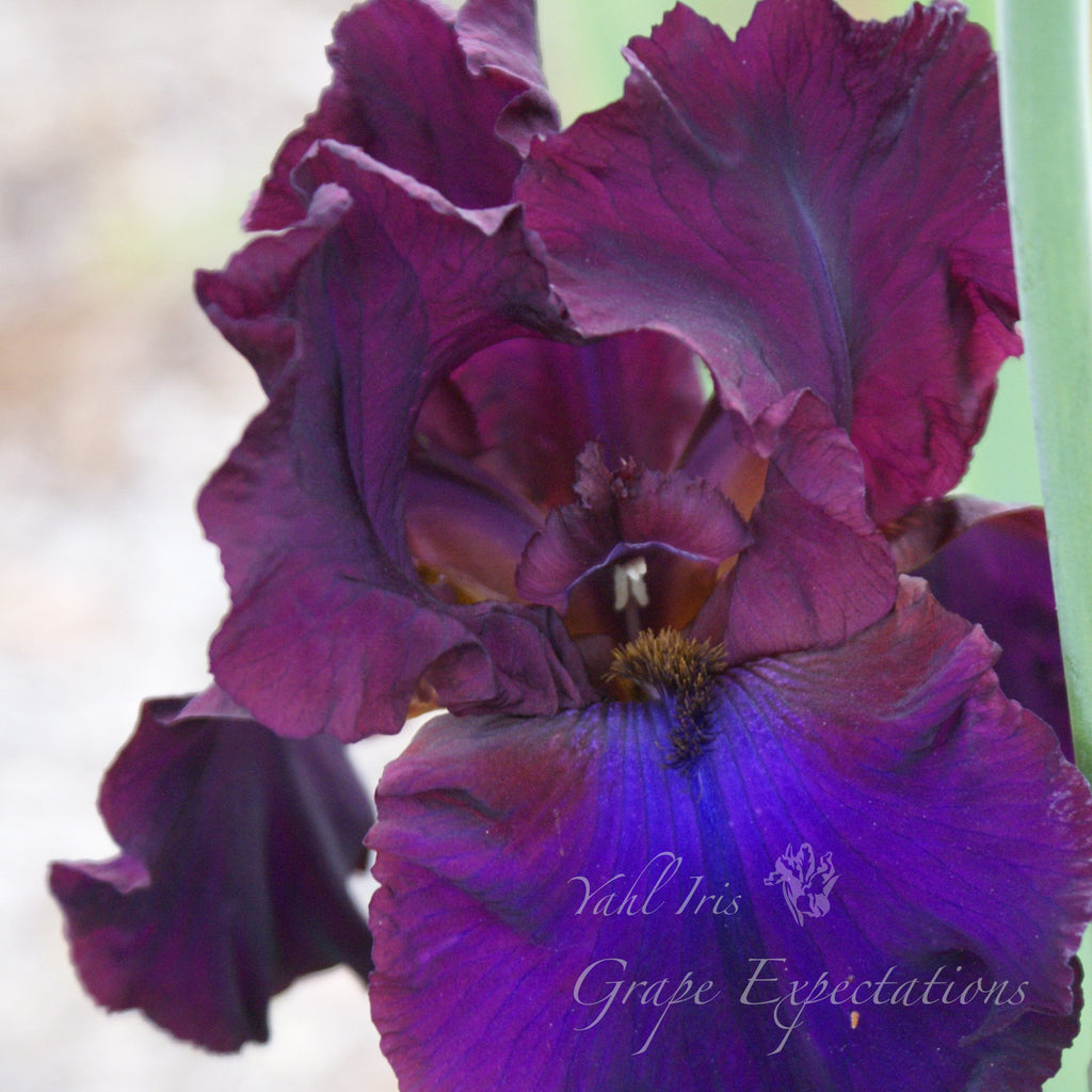 Grape Expectations - Tall Bearded Iris