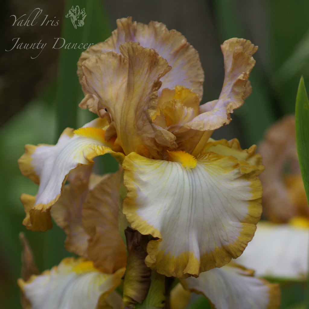 Jaunty Dancer - Tall bearded iris