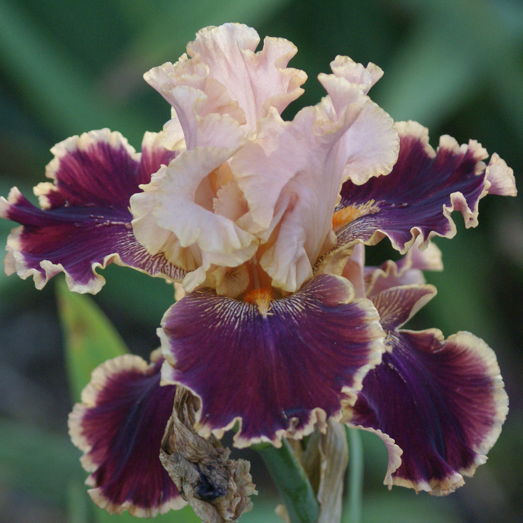 Latin Lark - Tall bearded iris