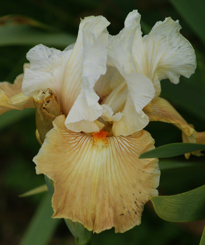 Oriental Alabaster - Tall bearded iris
