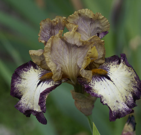 Point Made - Tall bearded iris