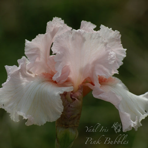 Pink Bubbles - Tall bearded iris