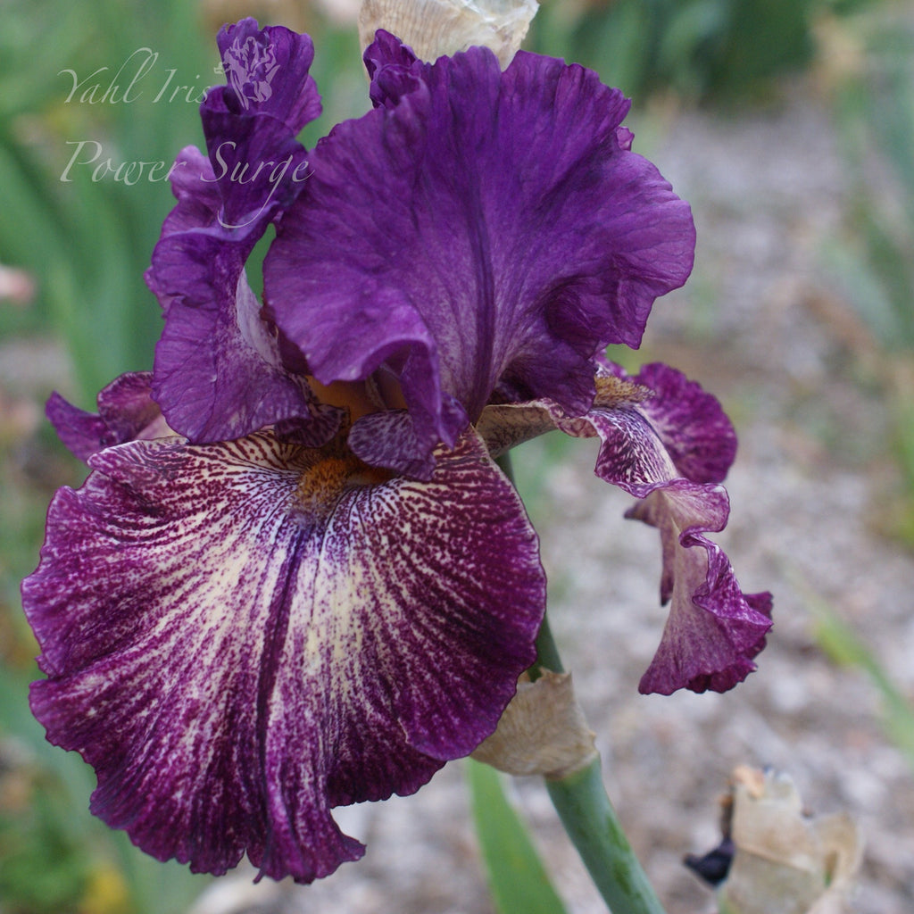 Power Surge - Tall bearded iris
