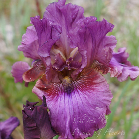 Prince of Hearts - Tall bearded iris
