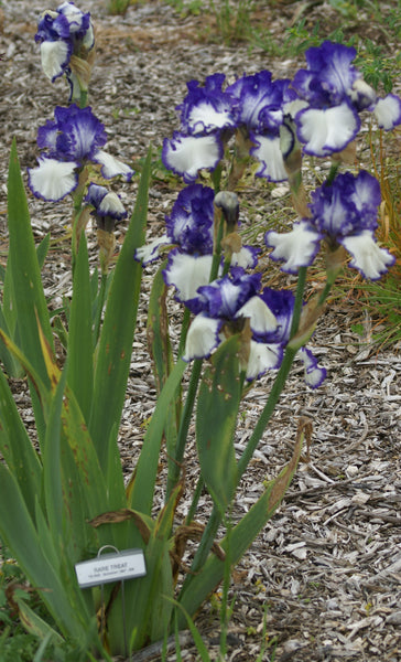 Rare Treat - Tall bearded iris