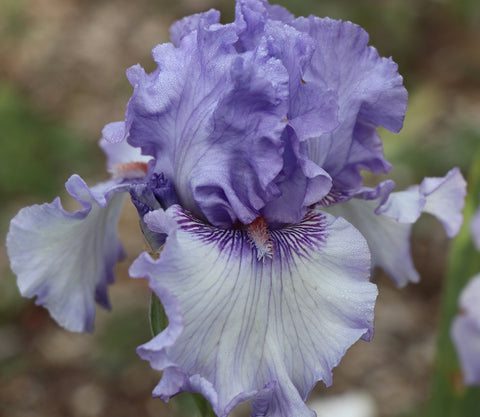 Sweet Geisha - Tall bearded iris