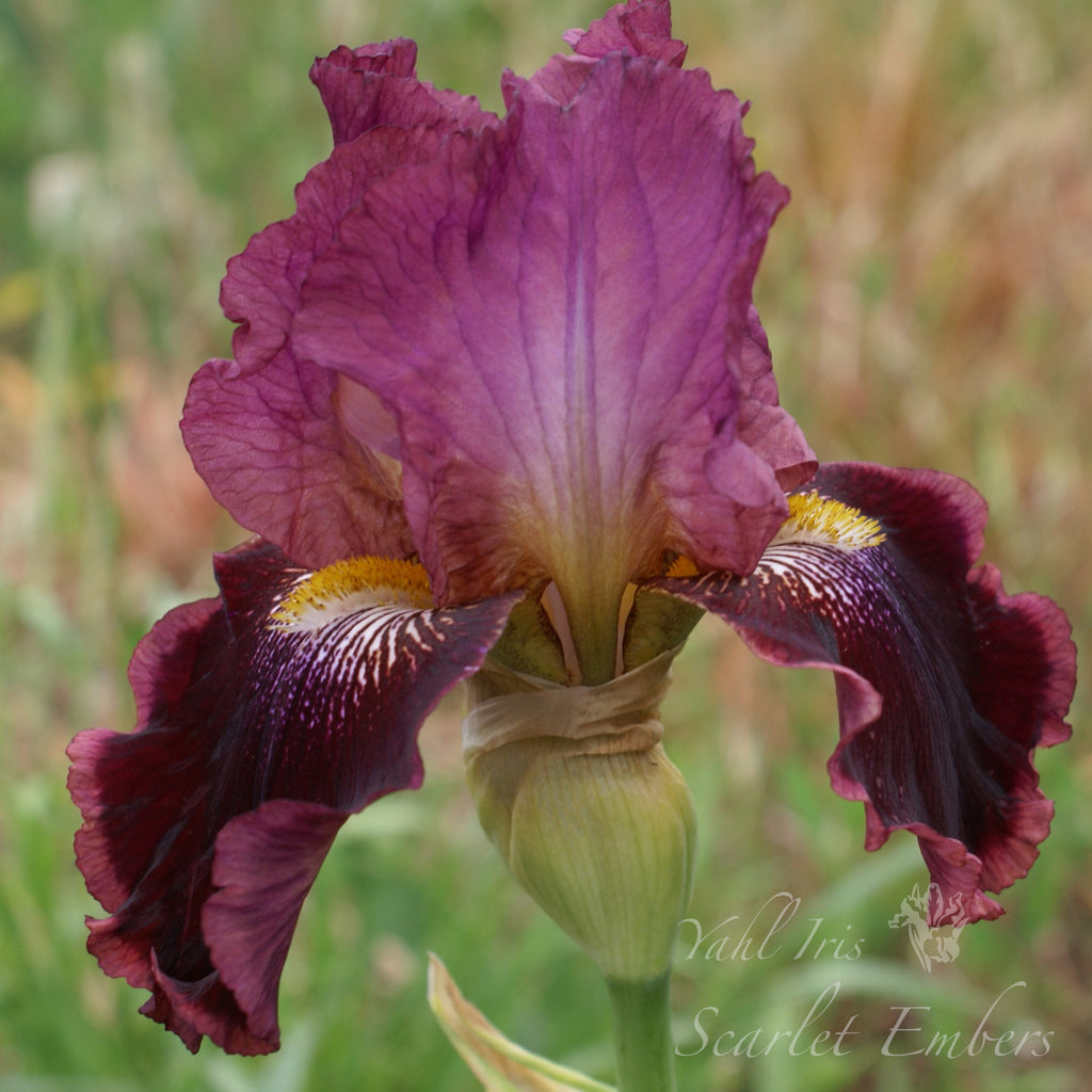 Scarlet Embers - Tall bearded iris