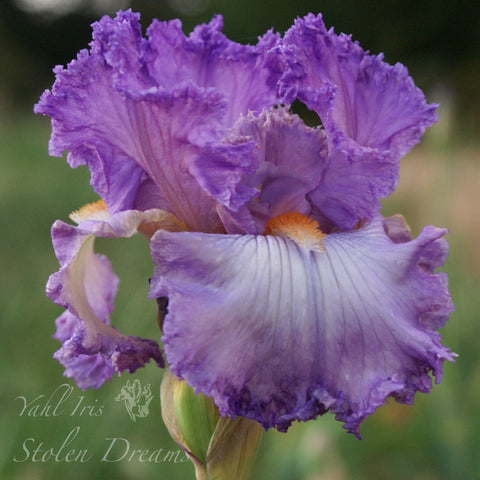 Stolen Dreams - Tall bearded iris
