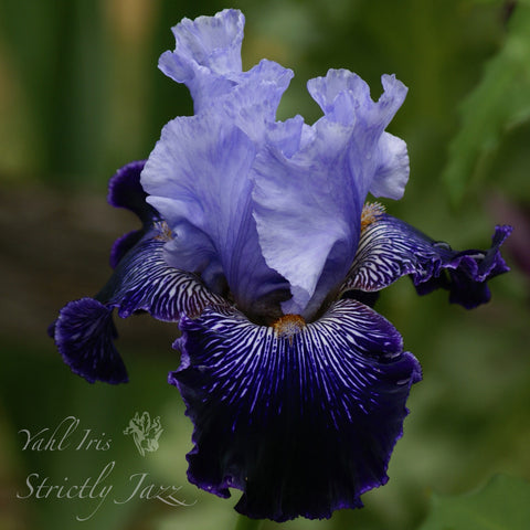 Strictly Jazz - Tall bearded iris