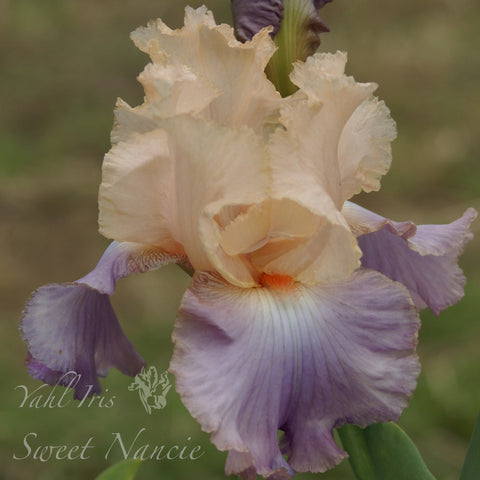 Sweet Nancie - Tall bearded iris
