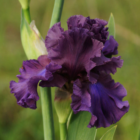 Thunder Maker - Tall bearded iris