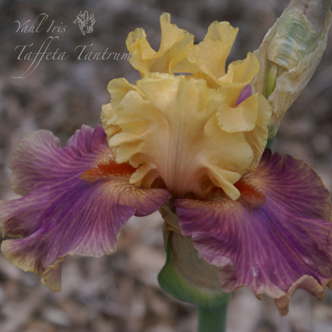 Taffetta Tantrum - Tall bearded iris