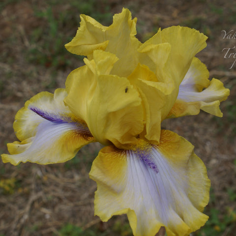 Triple Whammy - Tall bearded iris