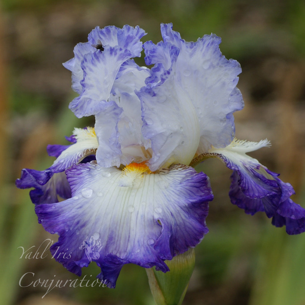 Conjuration - Tall bearded iris