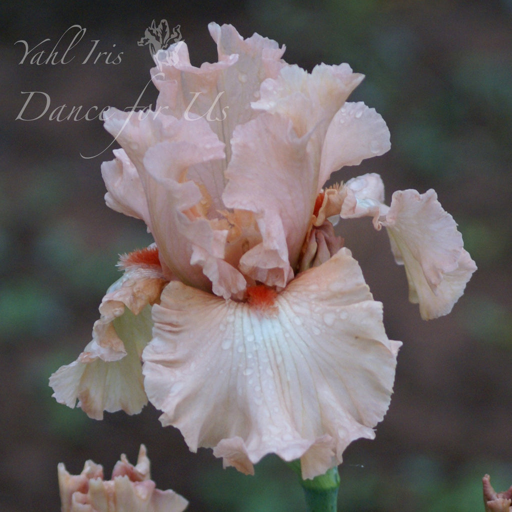 Dance For Us - Tall bearded iris