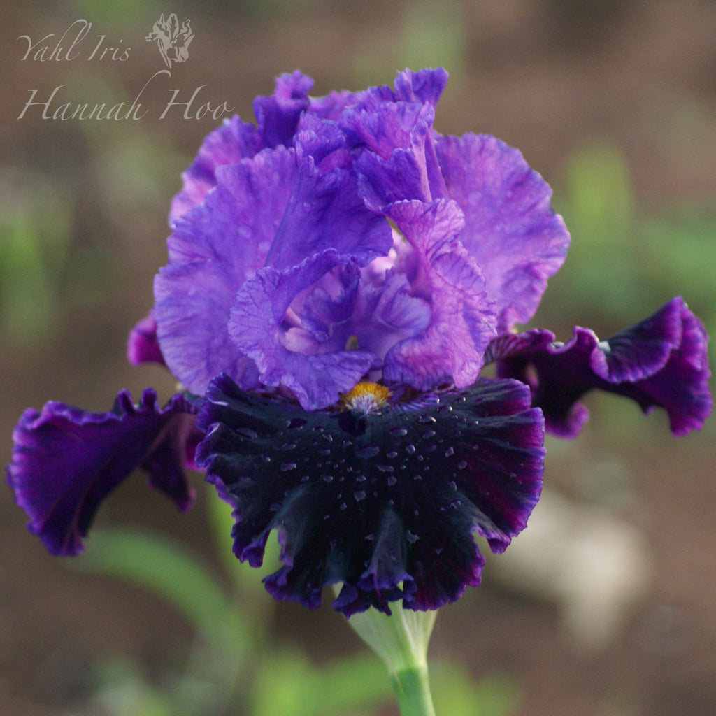Hannah Hoo - Tall bearded iris