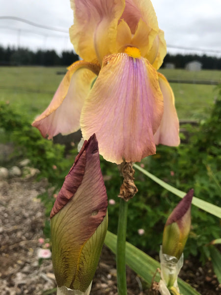 Unknown Name 8 - Tall bearded iris