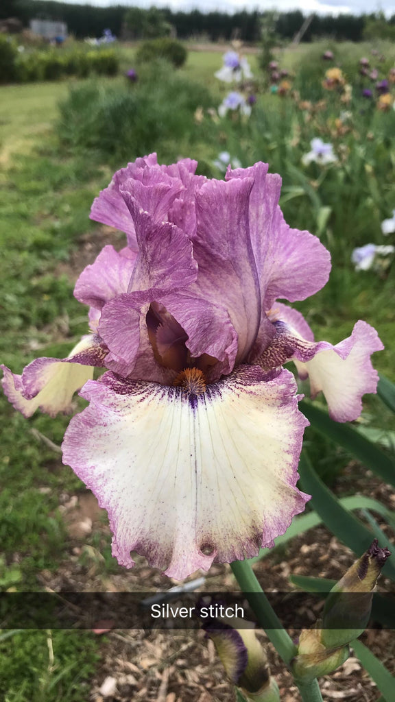 Silver Stitch - Tall bearded iris