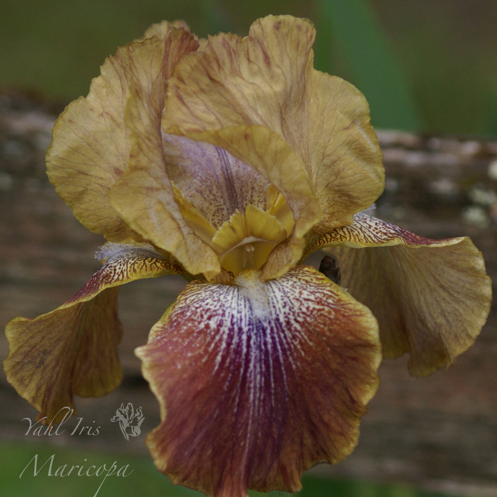 Maricopa - Tall bearded iris- Rebloomer!