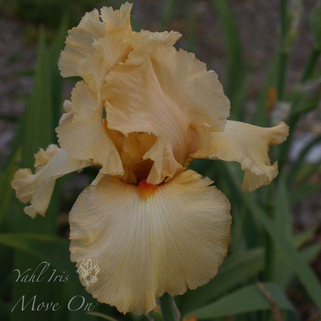 Move On - Tall bearded iris