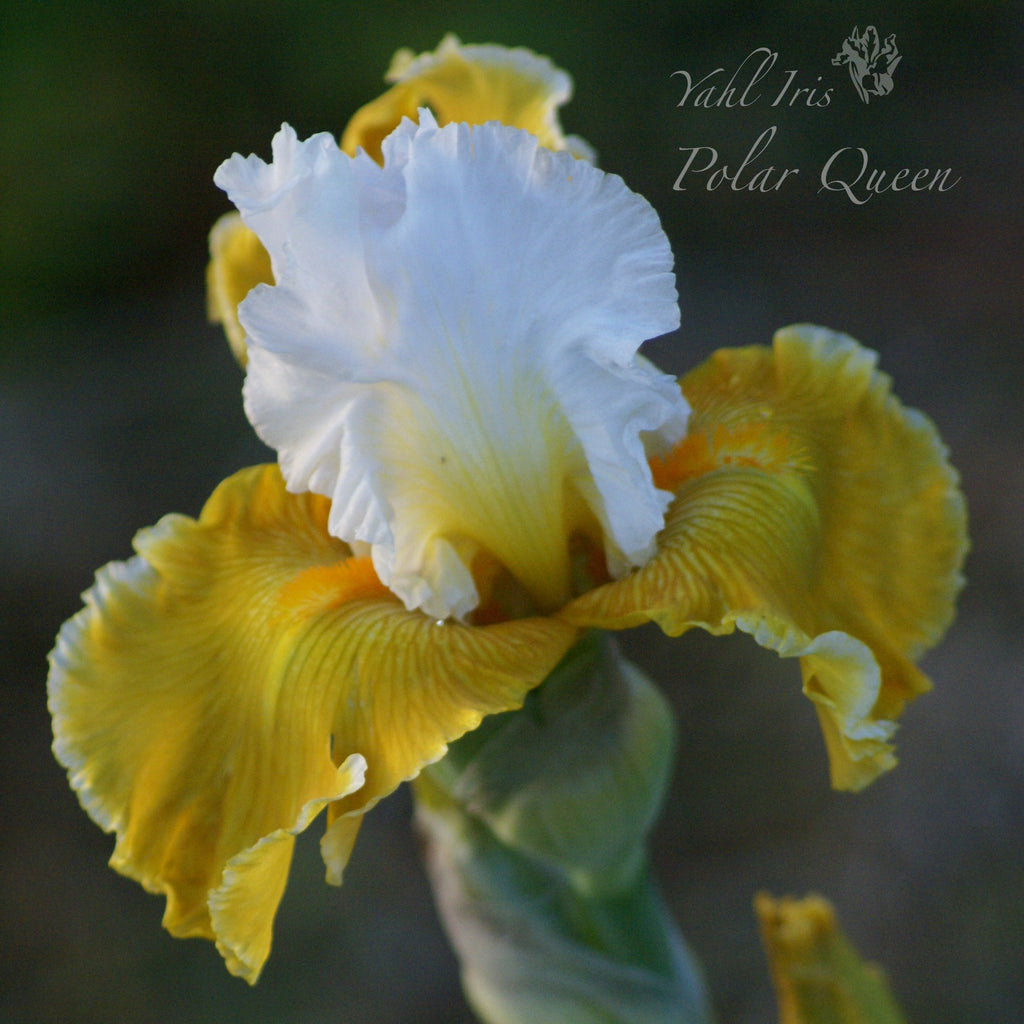 Polar Queen - Tall bearded iris