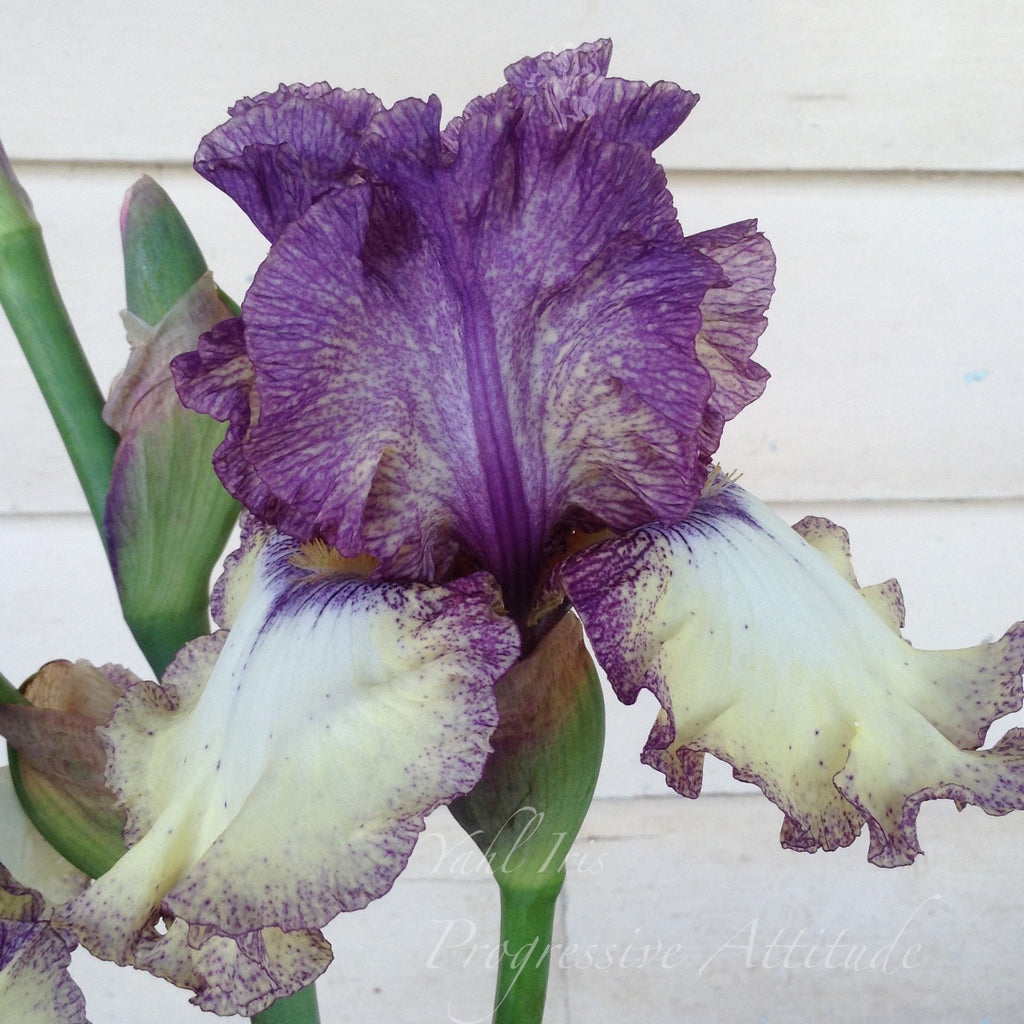 Progressive Attitude - Tall bearded iris