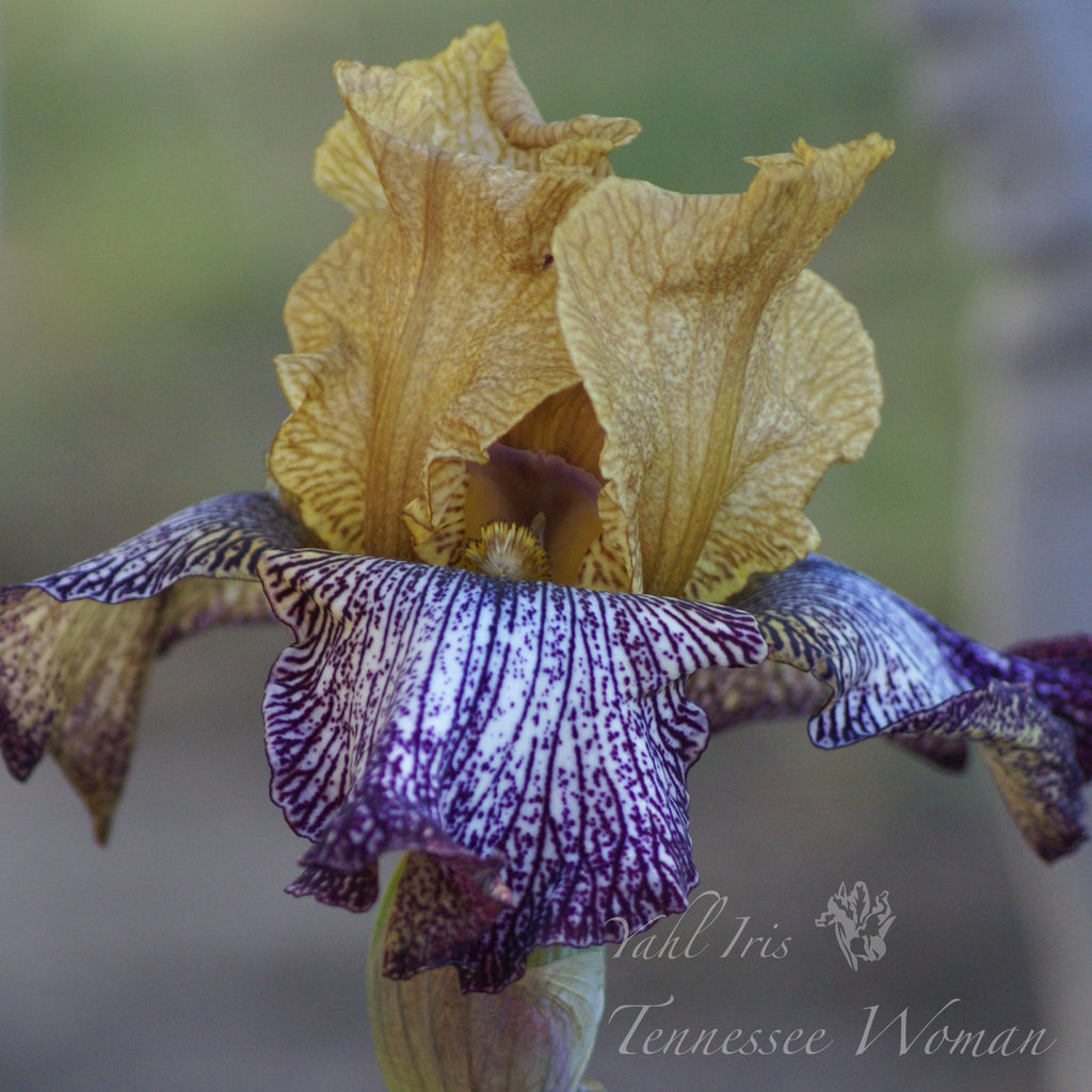 Tennessee Woman - Tall bearded iris