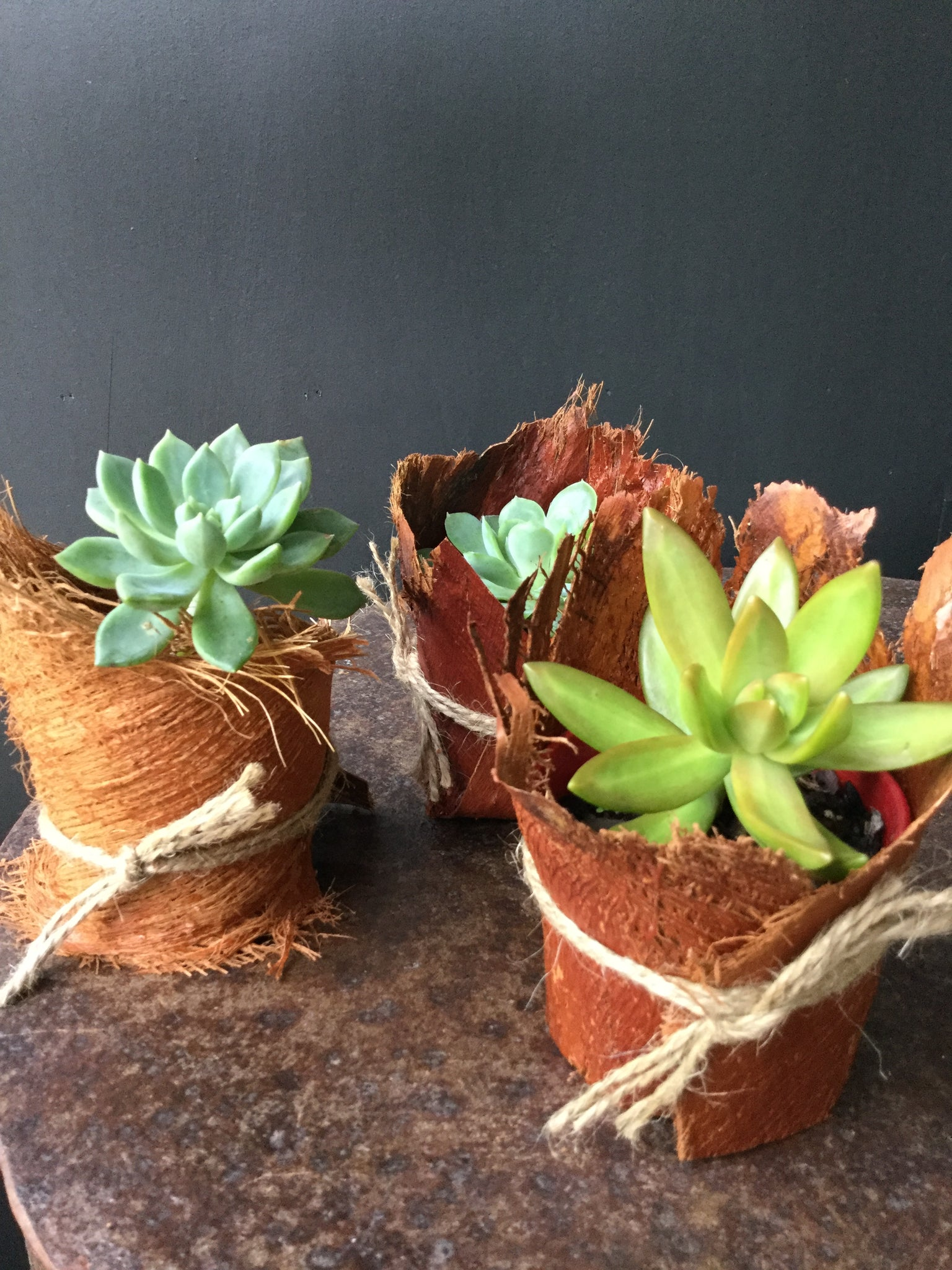 Succulent in bark wrapped pot