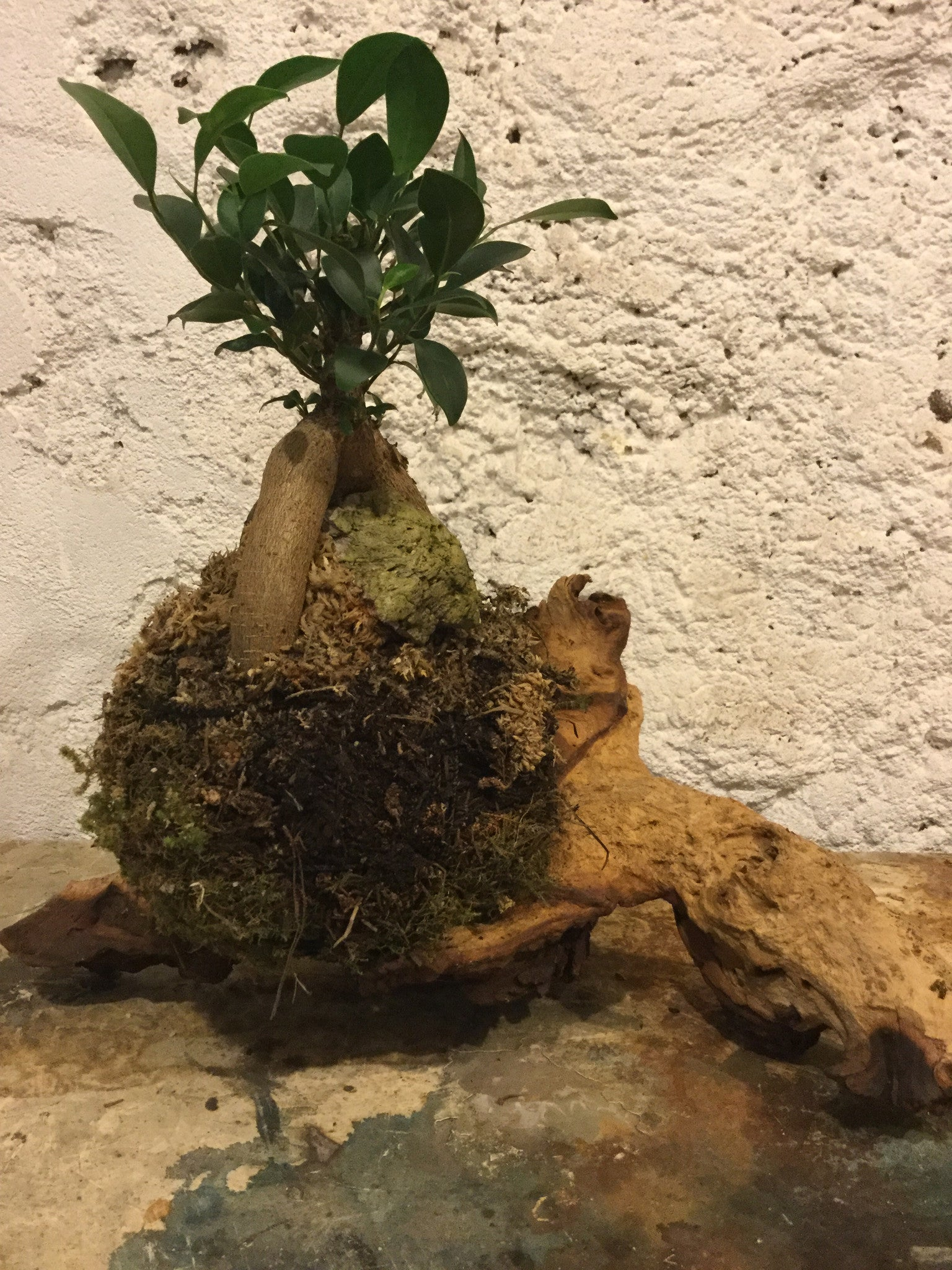 Pot belly fig bonsai