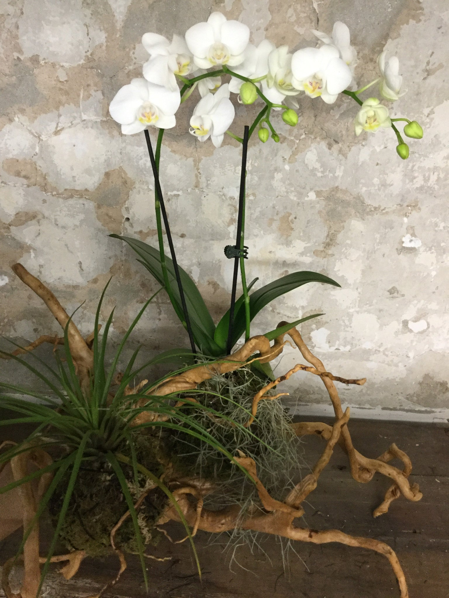 Orchid and Tillandsia on Golden Vine