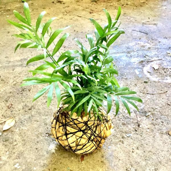 Kokedama Making - Nov 30