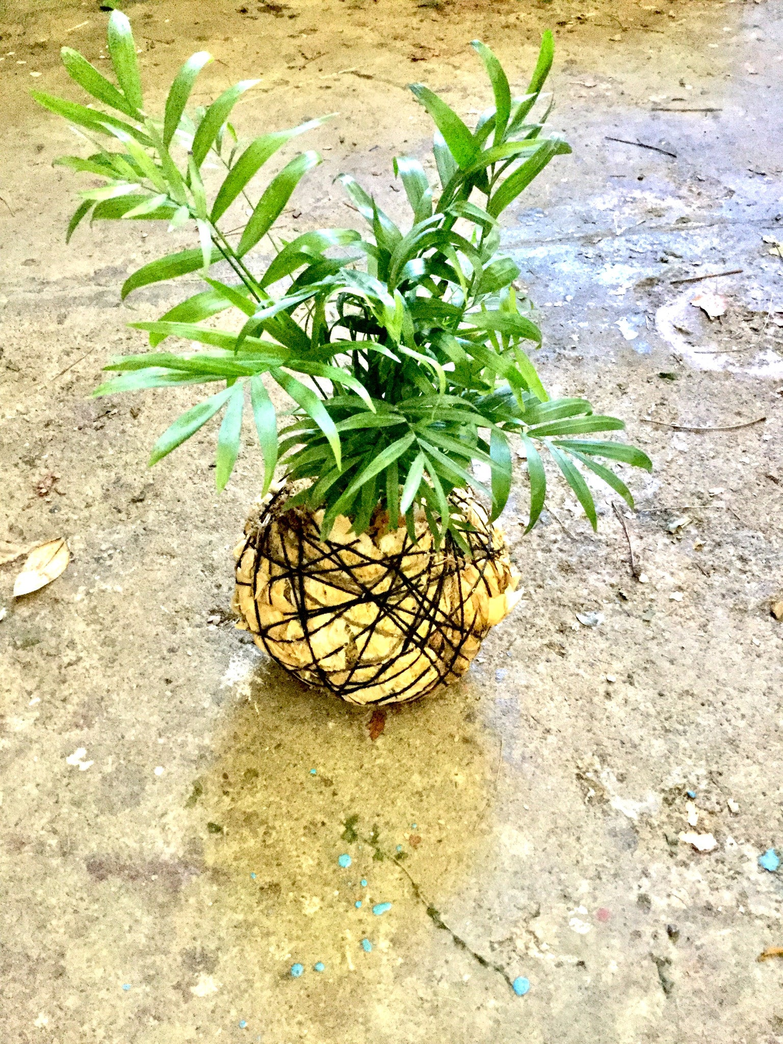 Kokedama Making - October 1