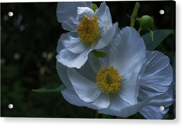 California Tree Poppy - Acrylic Print