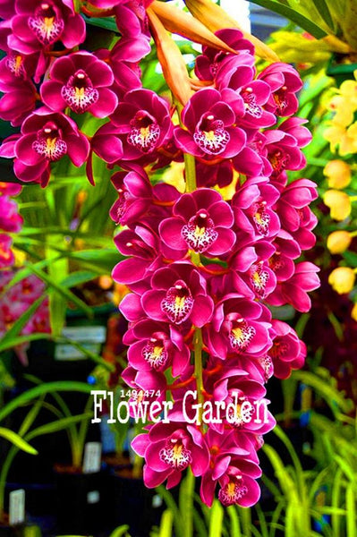 100 Pcs Cymbidium Orchid Seeds
