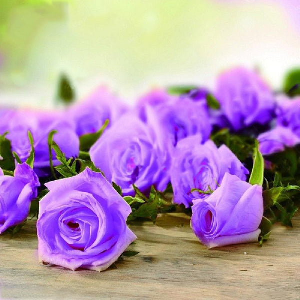 100 Pcs Holland Rose Seed