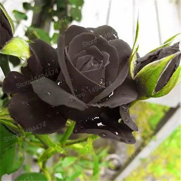 200 Pcs Exotic Rose Seeds