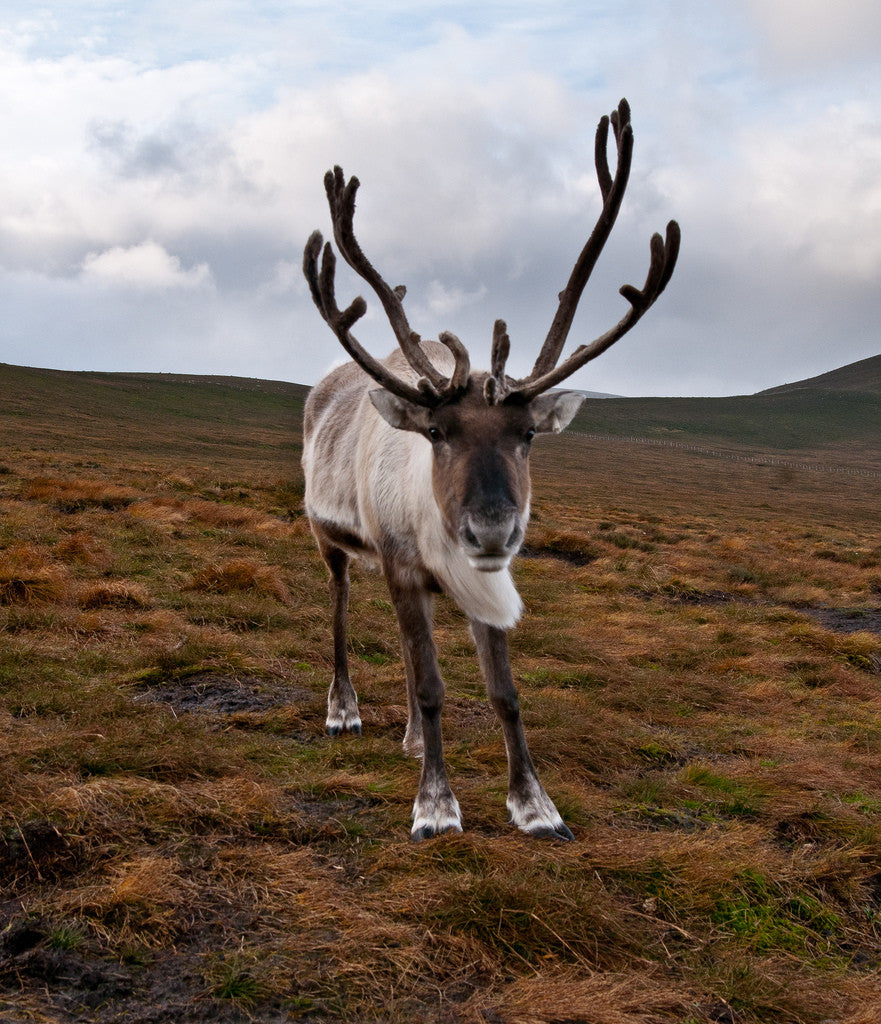 One Thousand Words for Reindeer