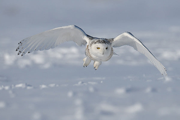 Snowy Owls Less than Ten Miles from True North Gallery!